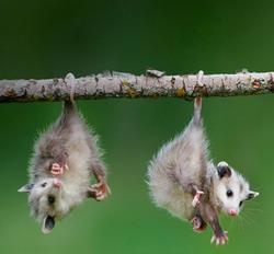 212-09.Opossum