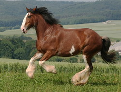 212-10.Clydesdales