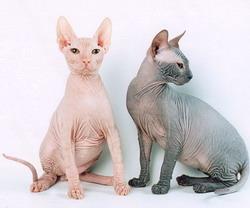 521-02.Sphynx cat