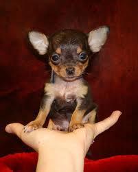 4.Chihuahua