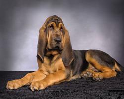 7.bloodhound